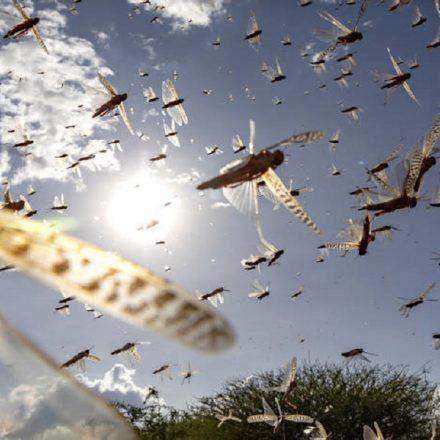 FAO alerta contra praga de gafanhotos no leste da África
