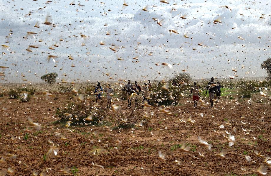 Eliminação de gafanhotos-do-deserto na África poupa alimento para sete milhões de pessoas
