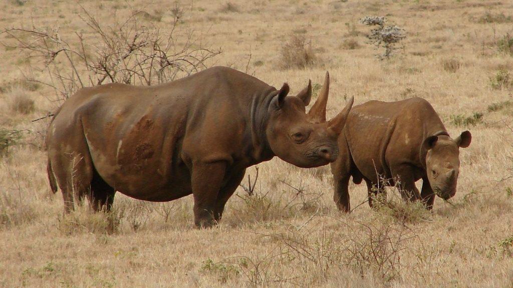 Quênia não registra nenhuma caça a rinoceronte pela primeira vez em 21 anos